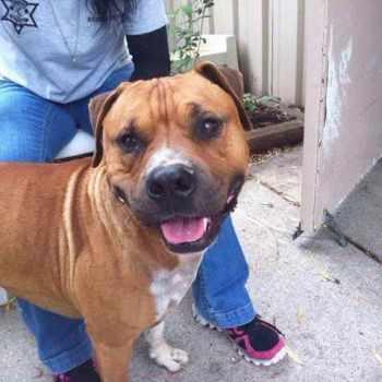 Bull Terrier For Sale Craigslist