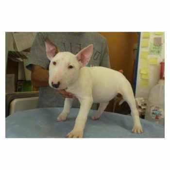 Bull Terrier For Sale Los Angeles