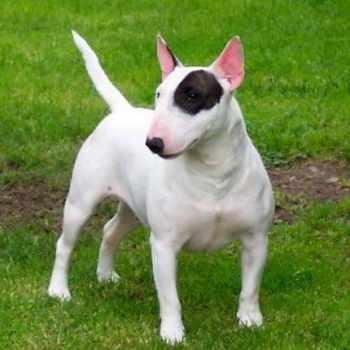 Bull Terrier Houston