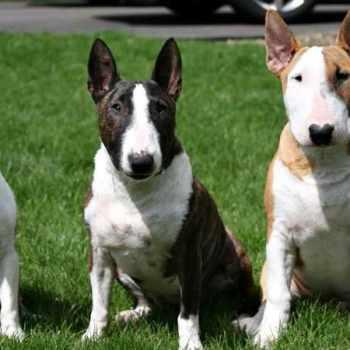 Bull Terrier Info