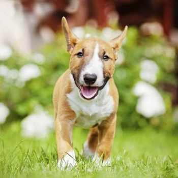 Bull Terrier Mini Puppies