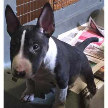 Bull Terrier Puppies For Sale Illinois