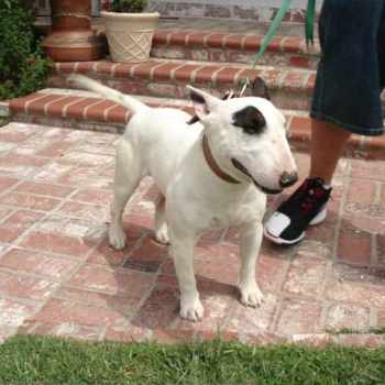 Bull Terrier Puppies For Sale In California