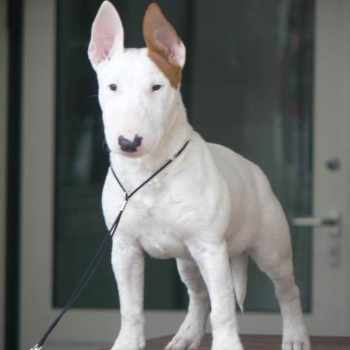 Bull Terrier Puppies For Sale In Florida
