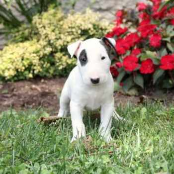 Bull Terrier Puppies For Sale In Sacramento