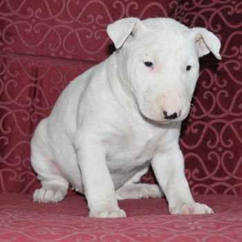 Bull Terrier Puppies Pennsylvania