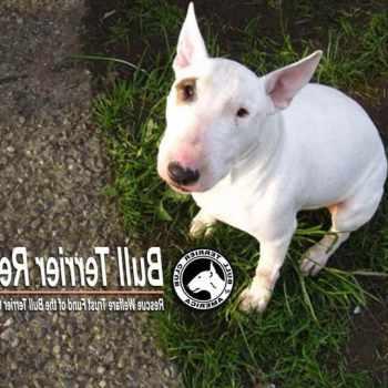 Bull Terrier Rescue Massachusetts
