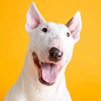 Bull Terrier Rescue Missouri