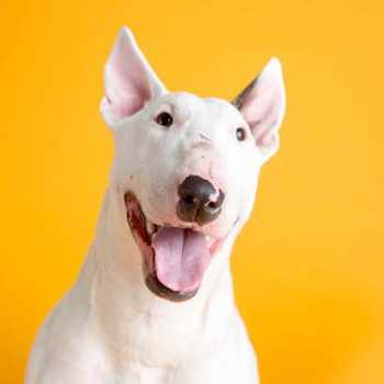 Bull Terrier Rescue Wi