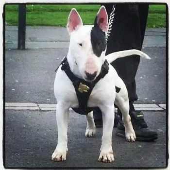 Bull Terrier Studs