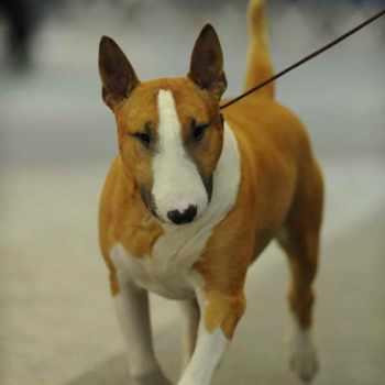 Bull Terrier Tampa
