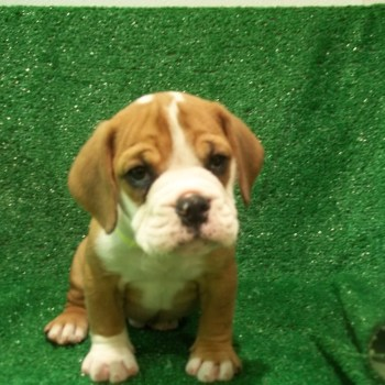 Bulldog Beagle Mix Puppies For Sale