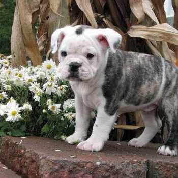 Bulldog Boston Terrier Mix Puppies Sale