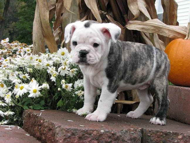 Bulldog Boston Terrier Mix Puppies Sale