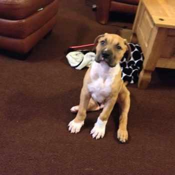 Bulldog Mastiff Puppy