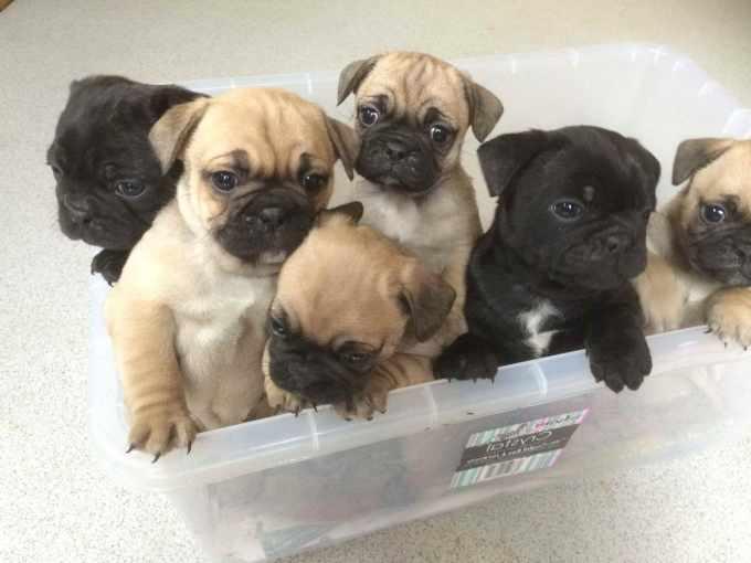 Bulldog Pug Puppy