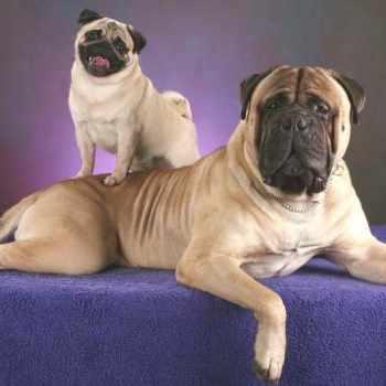 Bullmastiff And Pug