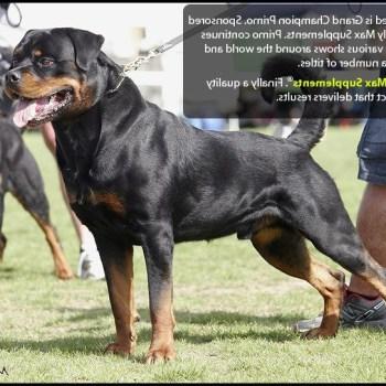 Bully Max Rottweiler
