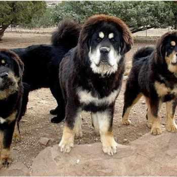 Burmese Mastiff