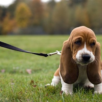 Buy A Basset Hound Puppy