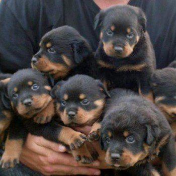 Buy A Rottweiler Puppy