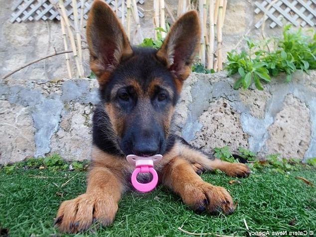 Buy Baby German Shepherd