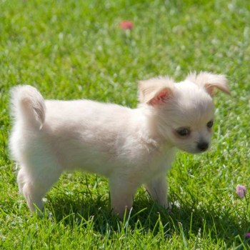 Buy Chihuahua Puppies