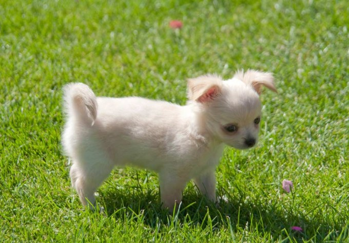 Buy Chihuahua Puppies