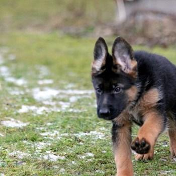 Buy German Shepherd Puppy
