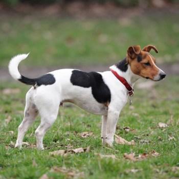 Buy Jack Russell Terriers