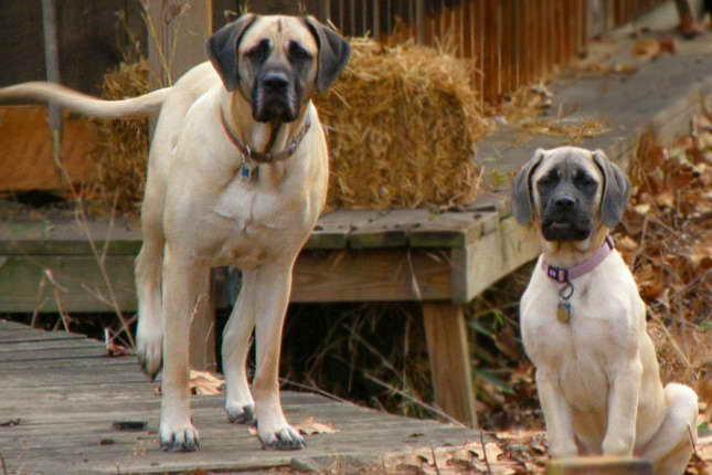 Buy Mastiff Puppies