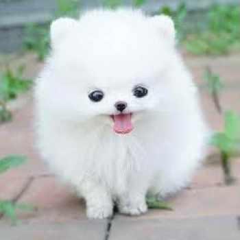 Buy Pomeranian Husky