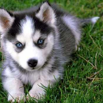 Buy Siberian Husky Puppy
