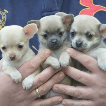 Buy Teacup Chihuahua