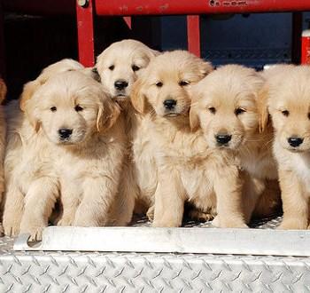 Buying A Golden Retriever Puppy
