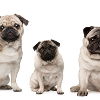 Buying A Pug