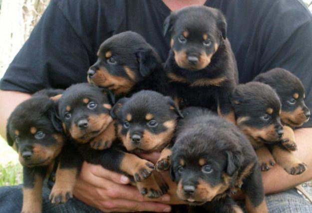 Buying A Rottweiler