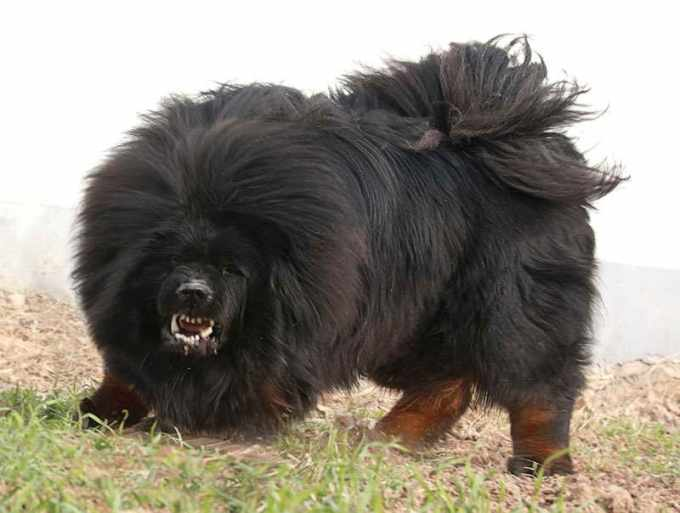 Buying A Tibetan Mastiff