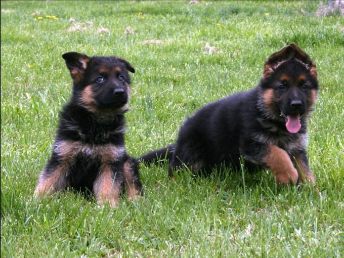Buying German Shepherd Puppies