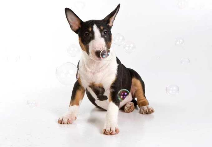 Box Terrier Puppies