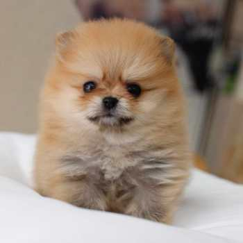 Brown Pomeranian Puppies For Sale