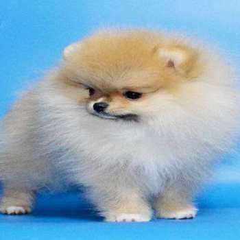 Brown Teacup Pomeranian