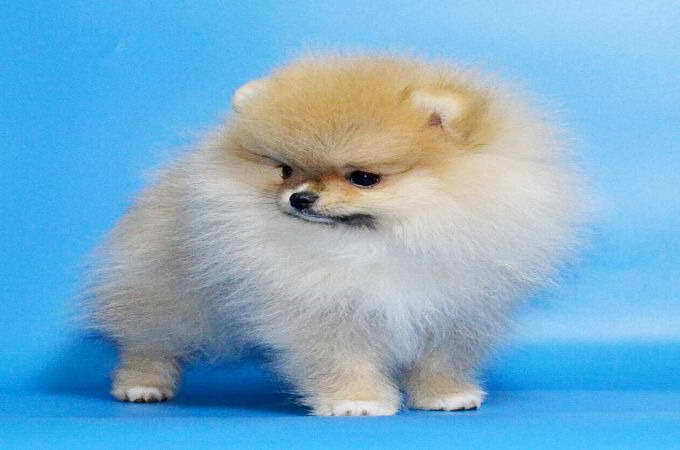 Brown Teacup Pomeranian