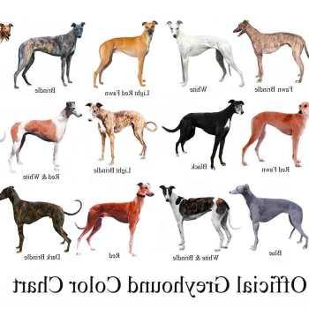 Buy A Greyhound Dog