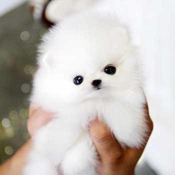 Buy A Pomeranian
