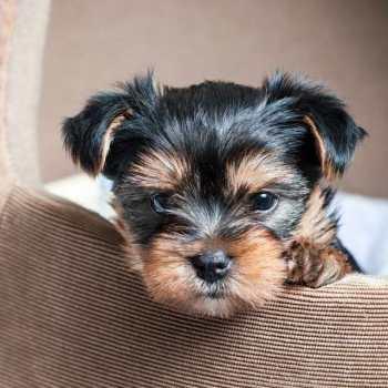 Buy Yorkshire Terrier Puppy
