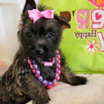 Cairn Terrier Breeders Florida