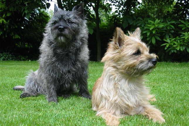 Cairn Terrier Breeders Texas