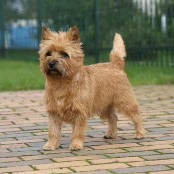 Cairn Terrier Health Issues