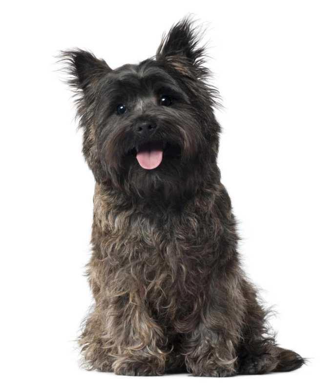 Cairn Terrier Hypoallergenic